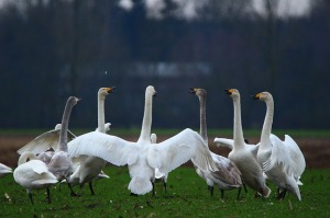 https://pixabay.com/en/swan-whooper-swan-bird-swans-1191969/