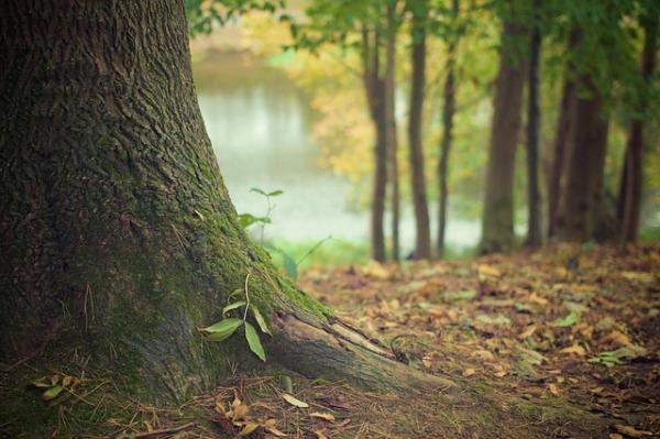 https://pixabay.com/en/tree-trunk-forest-floor-trunk-roots-569275/