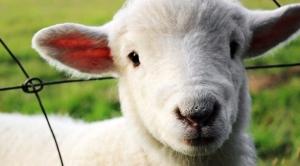 sheep-451981_640