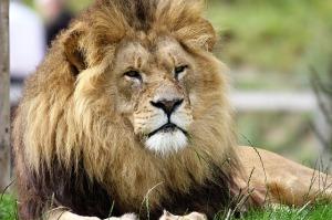 lion-1657960_640